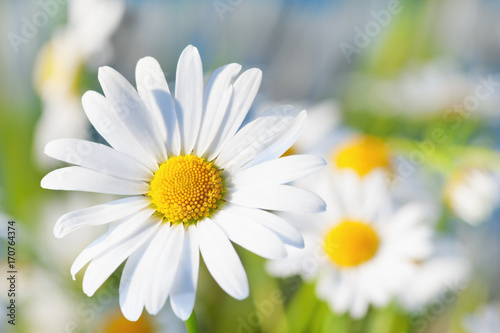 Marguerites Chamomile among flowers