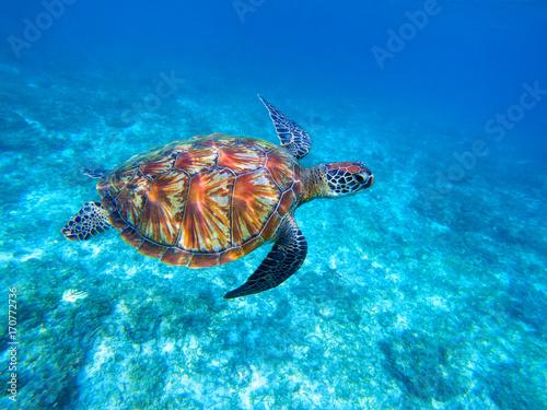 Poster Tortue Green sea turtle in sea. Big green sea turtle closeup. Wild nature marine species.