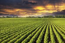 Rows Of Soy Field Plants In Su...