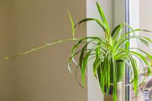 Chlorophytum, One Flower In A ...