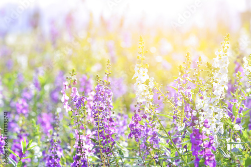 Foto auf Acrylglas Wald im Nebel Soft focus on lavender flower, beautiful lavender flower.Sunset over a violet lavender field