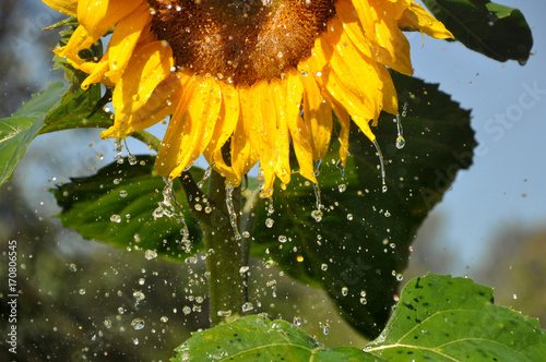 ripe-yellow-sunflower-with-a-lot-of-water-droplets