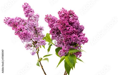 Fotobehang Lilac lilac branch