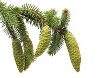 Branch Of Spruce With Green Cones