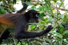 Spider Monkey (Ateles Geoffroy...