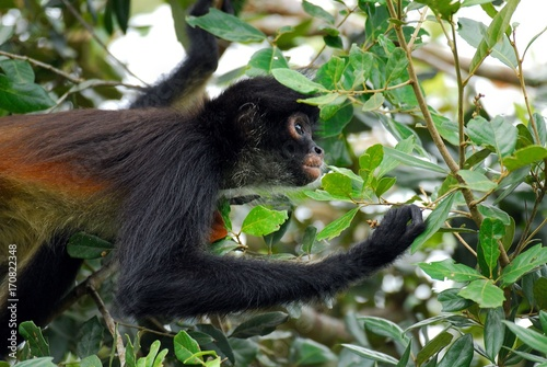 Cadres-photo bureau Singe Spider monkey (Ateles geoffroyi) - Belize