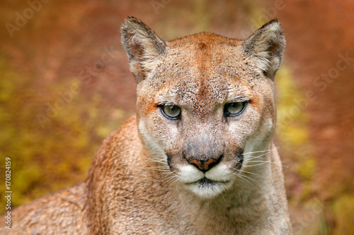 Poster Puma Portrait of cougar. Danger Cougar sitting in the green forest. Big wild cat in nature habitat. Puma concolor, known as mountain lion, puma, panther, green vegetation, Mexico. Wildlife scene, nature.