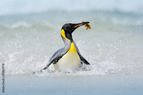 Penguin in the water. Funny bird image from wild nature. Wildlife scene from ocean. Wild Antarctica. Big King penguin jumps out of the blue water while swimming through the ocean in Falkland Island.