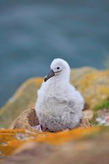 Small albatross in nest. Cute baby of Black-browed albatross, Thalassarche melanophris, sitting on clay nest on the Falkland Islands. Wildlife scene in the nature. Cute wild bird. Nesting behaviour.