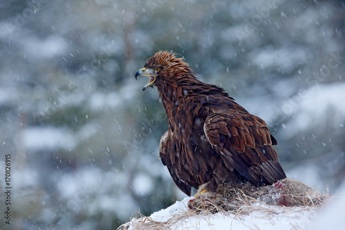Fotografie, Tablou  Golden Eagle in snow with kill hare, snow in the forest during winter