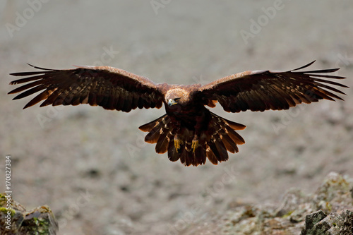 Flying eagle. Bird behaviour in rocky mountain. Hunter with catch. Golden eagle in grey stone habitat. Golden Eagle, Aquila chrysaetos, fly. Wildlife scene from nature, big wings.