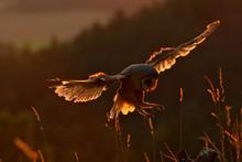 Evening Light With Landing Owl...