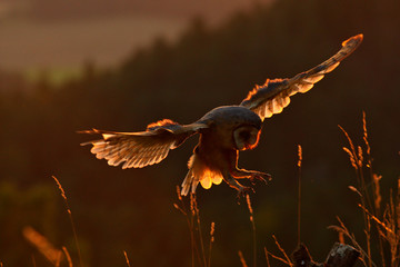 Evening light with landing owl. Barn owl flying with spread wings on tree stump at the evening. Wildlife scene from nature. Bird on tree trunk Owl in fly. Wildlife Europe.