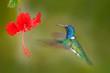 Hummingbird with red flower, Ecuador.