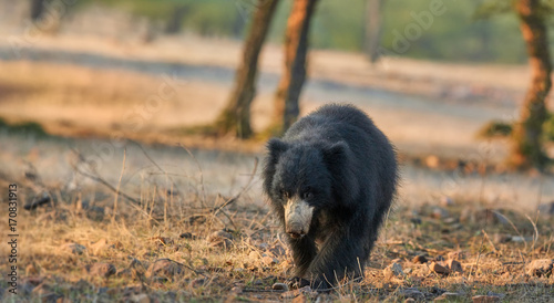 Photo Panoramic photo of wild sloth bear, Melursus ursinus in natural environment of dry forest