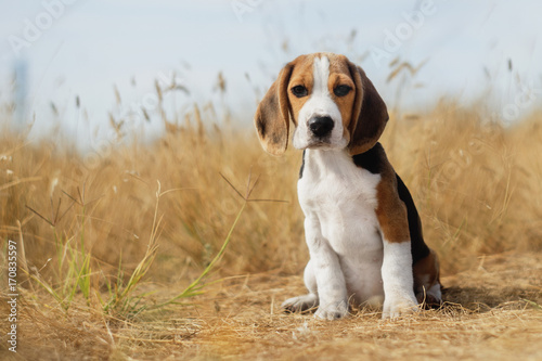 funny beagle puppy Canvas Print
