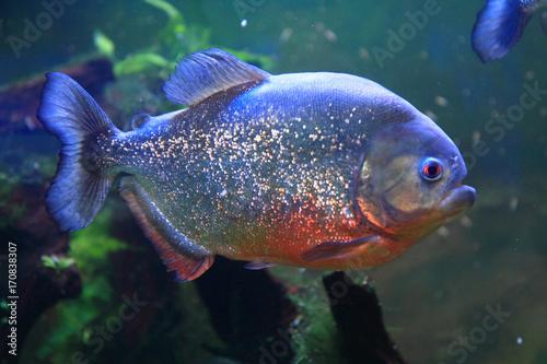 Valokuvatapetti big piranha fish