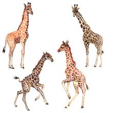 Exotic Giraffe Wild Animal In ...