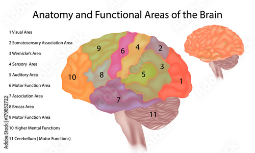 Fotografía  Brain anatomy - A side view illustration of the human brain with functional area