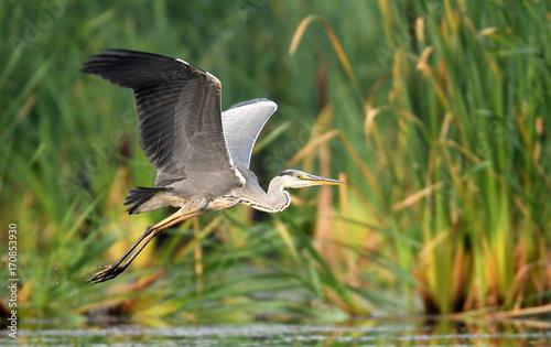 Photo Grey heron (Ardea cinerea) in flight
