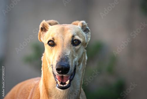 Fotografia Portrait of a greyhound outdoor