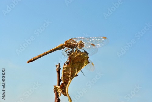 Fotografie, Obraz  Yellow-winged darter (Sympetrum flaveolum) sitting on the rotten leaf