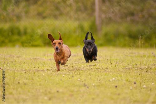 Fotobehang Ree Miniature Dachshund Running