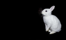 White Rabbit On Isolate A Black Background.