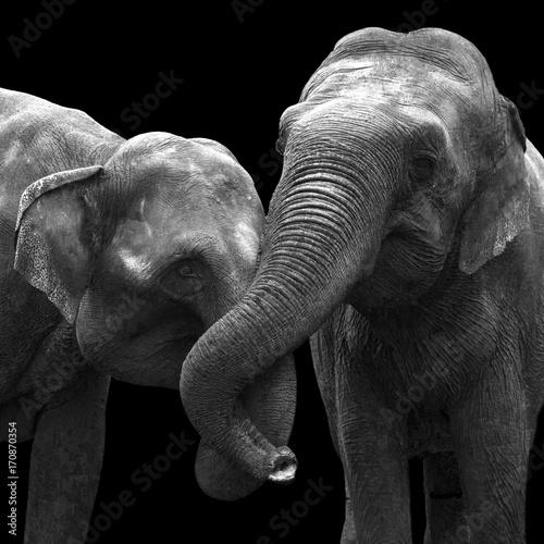 zakochane-slonie