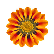 Orange Gazania Isolated On A W...
