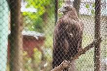White-tailed Eagle In Captivity In A Cage
