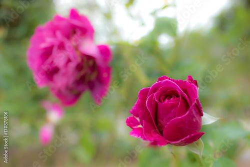 Fotografia  Scent of Woman; Floribunda Rose, Pink Rose Originally Produced by the Breeder Ba