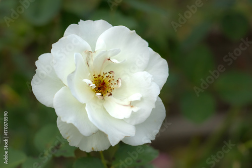 Fotografie, Obraz  Moonsprite; Floribunda Rose, White Rose Originally Produced by the Breeder Swim