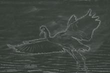 Chalkboard Drawing; The Snowy Egret Is Flying At Malibu Lagoon