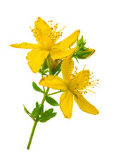 St. John's Wort (Hypericum Perforatum) Isolated Without Shadow
