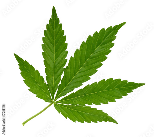 Fototapeta Cannabis leaf isolated on white without shadow obraz