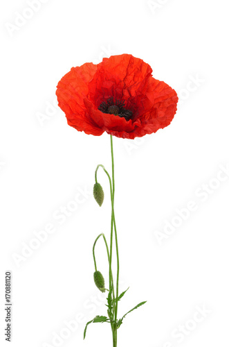 Deurstickers Klaprozen Poppy flower isolated without shadow