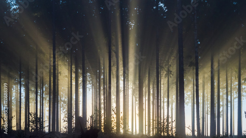 Fotografija Misty spruce forest in the morning Misty morning with strong sun beams in a spruce forest in Germany near Bad Berleburg, Rothaargebirge