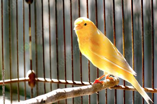 Canary Bird Fototapeta