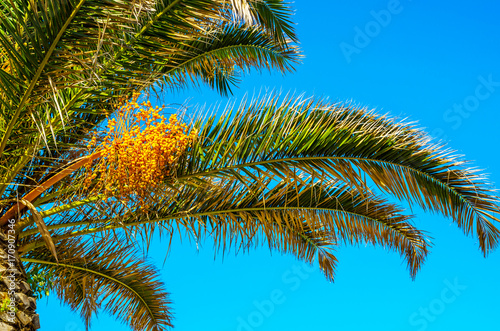 Poster Palmier beautiful spreading palm tree on the beach, exotic plants symbol of holidays, hot day, big leaves