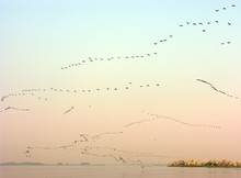 A Great Many Of Migrant Birds ...