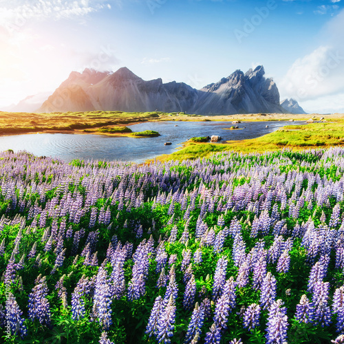Staande foto Noord Europa The picturesque landscapes of forests and mountains of Iceland. Wild blue lupine blooming
