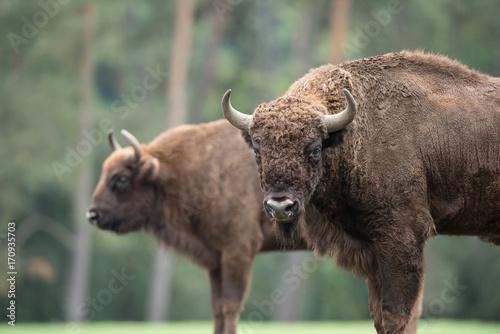 Keuken foto achterwand Buffel Bison d'Europe