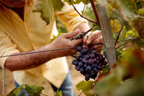 Fotografia close-up man picking red wine grapes on vine.