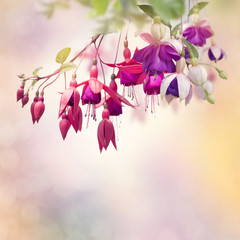 FototapetaRed and Purple Fuchsia Flowers