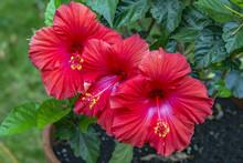 Trio Of Vibrant Red Hibiscus F...
