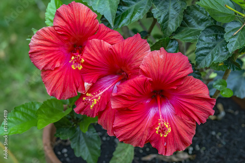 Trio Of Vibrant Red Hibiscus Flowers With Bright Yellow Stigma