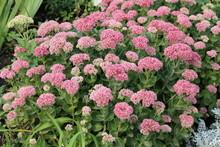 Showy Stonecrop Flowers (Sedum...
