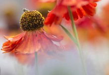 Sommertanz Mit Biene