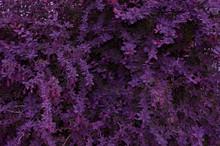 Background Of Purple Bright Sm...